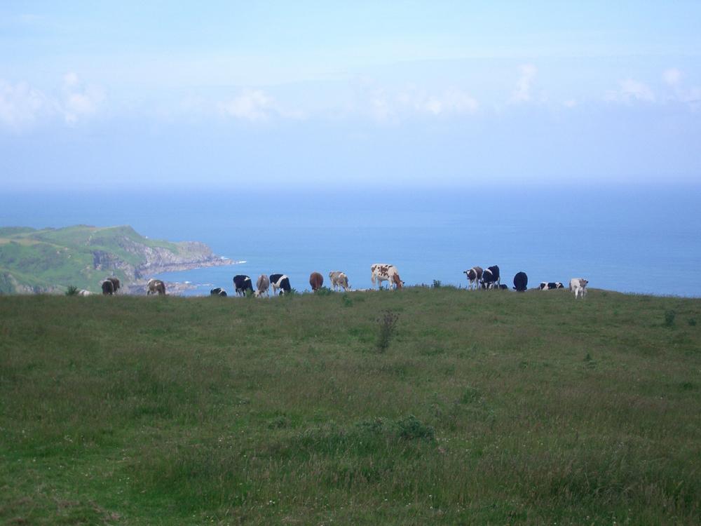 Cows_and_coastline